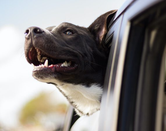 Consejos para viajar con animales en el auto
